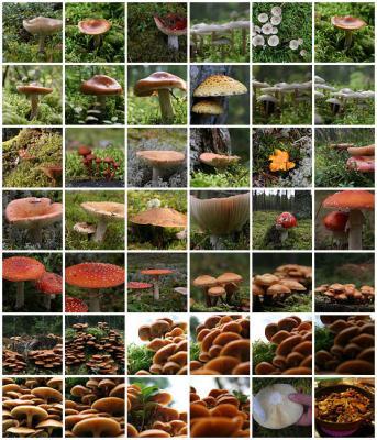 Xeiras Micolóxicas do Condado entre o 25 de Outubro e o 10 de Novembro